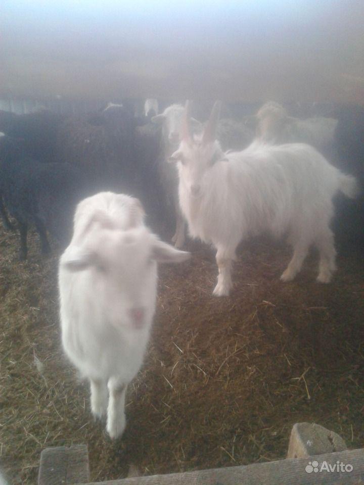 Продам коз. Челябинская область,  Челябинск