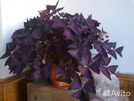 Кислица комнатная  уход за цветком в домашних условиях