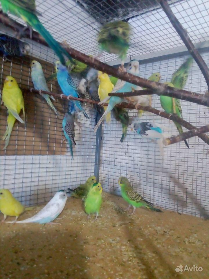 Волнистые попугайчики в Сальске - фотография № 2