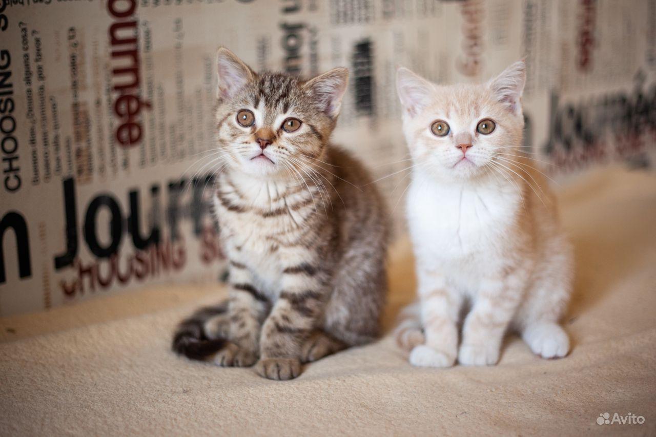 Котята шотландские в Щербинке - фотография № 1