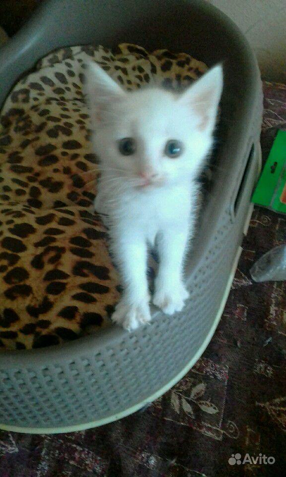 Отдам в добрые руки белого котенка, 1мес. Мальчик