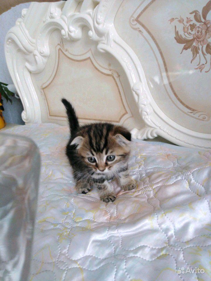 Британец котик(вислоушка)