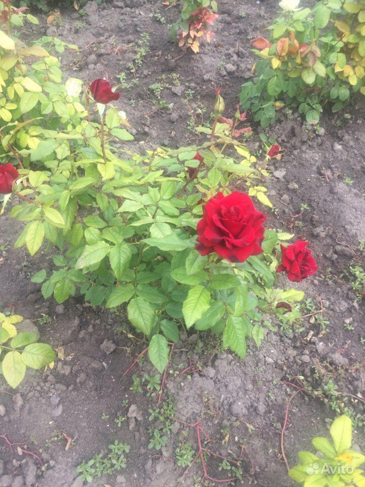Продажа кустовых роз купить на Зозу.ру - фотография № 2