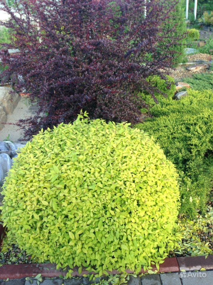 Продам растения купить на Зозу.ру - фотография № 8
