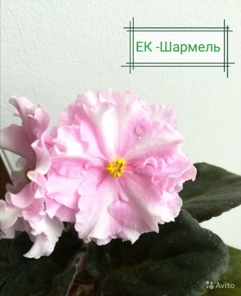 Фиалки детки купить на Зозу.ру - фотография № 9