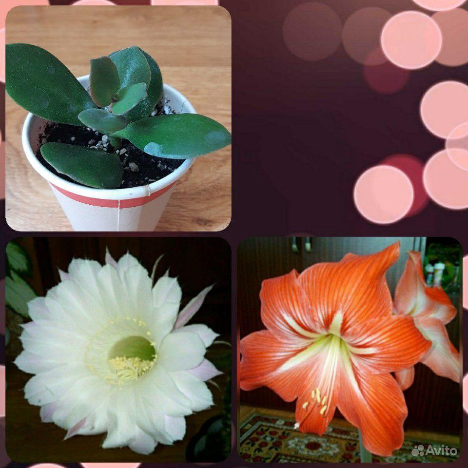 Амариллис, кактус, денежное дерево купить на Зозу.ру - фотография № 1