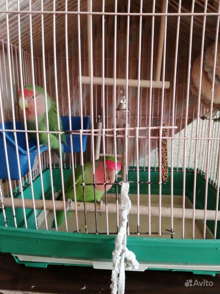Попугаи неразлучники купить на Зозу.ру - фотография № 3