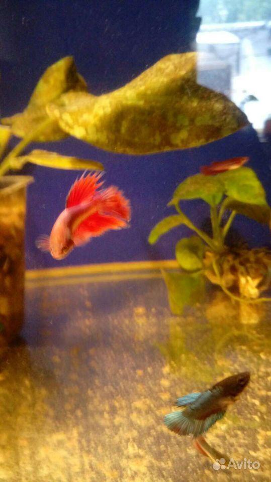 Рыба Петушки купить на Зозу.ру - фотография № 5