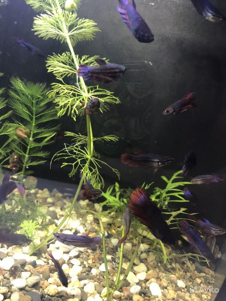 Рыбки Петушки подростки купить на Зозу.ру - фотография № 5