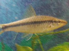 Рыбки сиамские водрослееды