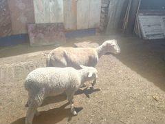 Куйбышевские овцы