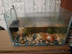 Золотоя рыбка