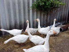 Продам домашних гусей