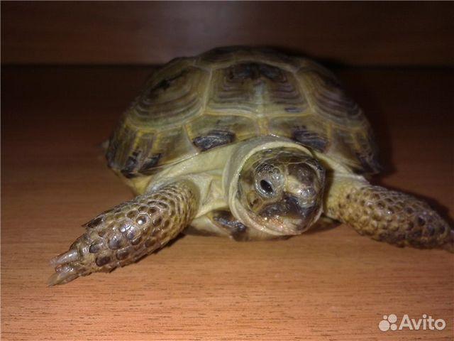 Сухопутная черепаха чем кормить - 2771a