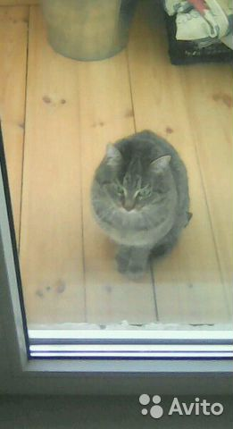 Серый кот 89120433035 купить 1