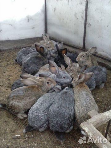 продажа кроликов в новосибирске на авито секси