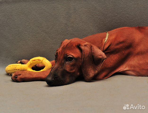 Подрощен,стандартн.щенки риджбека от Интерчемп,Шв купить на Зозу.ру - фотография № 10
