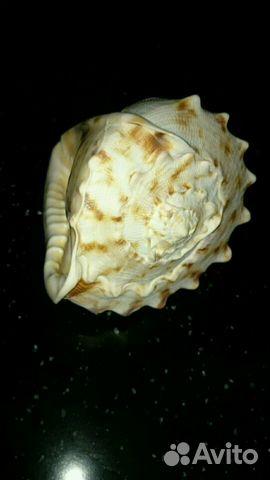 Раковина Cassis Cornuta в вашу коллекцию 89529537352 купить 6