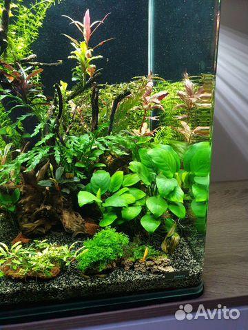 Anubias barter aquarium plant
