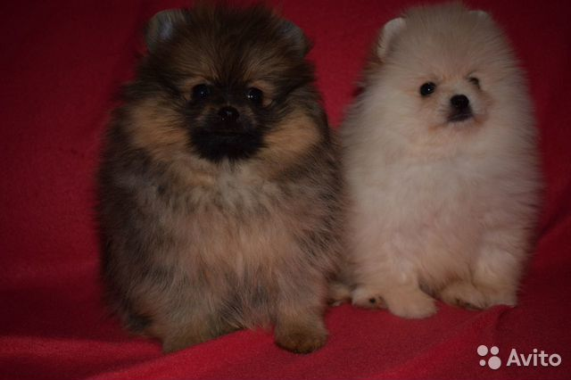 Очень красивые щенки померанского шпица купить на Зозу.ру - фотография № 3