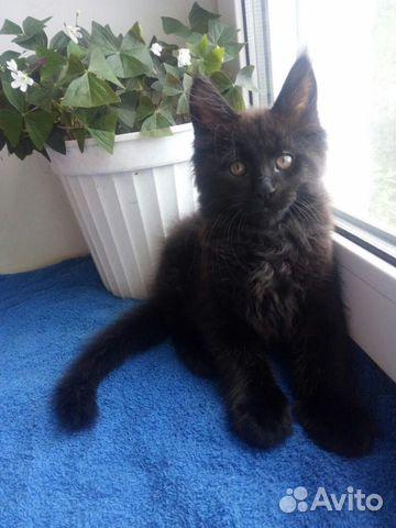 Мейн Кун котята 89170638951 купить 1