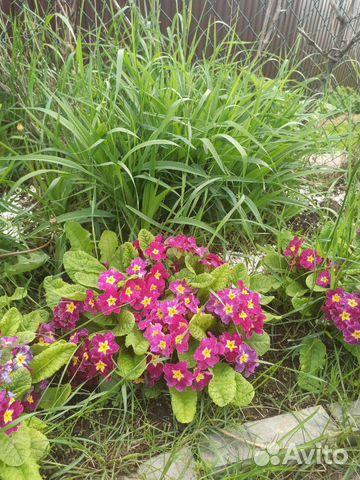 Многолетние цветы примула, почвопокровные, для гор  купить 2