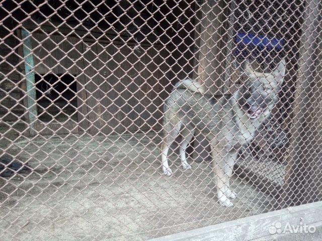 Продаются щенки западно сибирской лайки 89156783151 купить 5