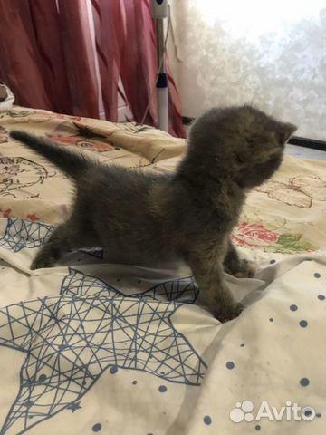 Кошка вислоухая  купить 1