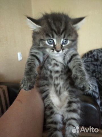 Котята озорнята  89502742399 купить 7