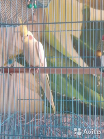 Попугай корелла  89127945244 купить 4