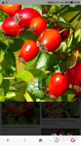 Ягода шиповника и боярышника в свежем и сушенном в  89010933378 купить 1
