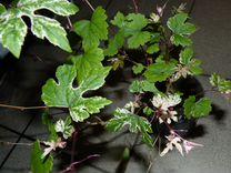 Циссусы редкие и другие сем виноградовые