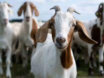 Козы козлы козлята нубийские