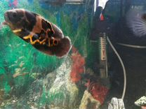 Астронотус тигровый