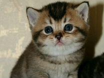 Котята британцы с изумрудными глазками