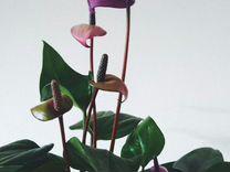 Антуриум фиорино