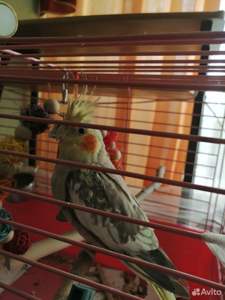 Попугай корелла  89103273094 купить 1