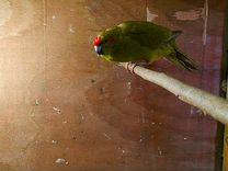 Какарик. Новозеландский прыгающий попугай