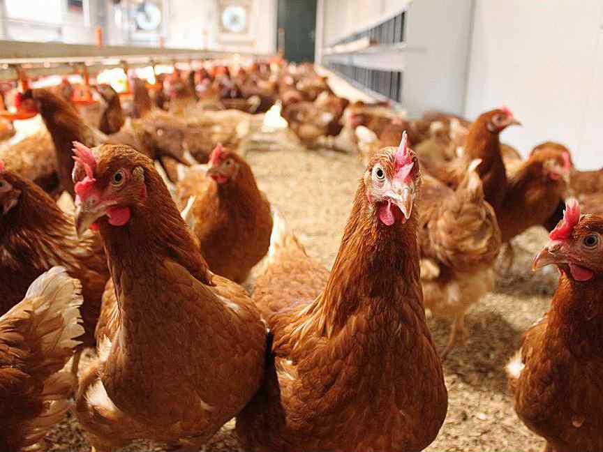 курицы новосибирска официальный сайт фото элементы нашего будущего