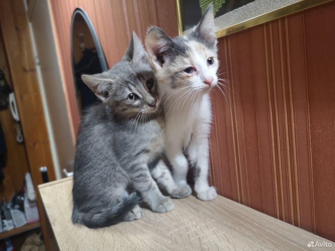 Котята  89376549511 купить 5
