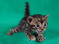 Бенгальские котята мальчики и девочки в Вашу семью