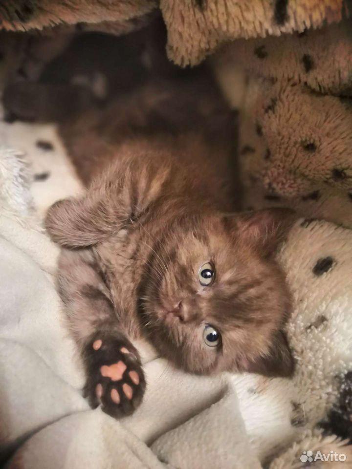 Шотландские котята  89525321477 купить 4