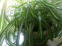 Хлорофитум кудрявый отростки — Растения в Москве