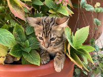 Бенгальский котенок девочка — Кошки в Геленджике