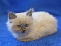 Очаровательные котята Невской Маскарадной