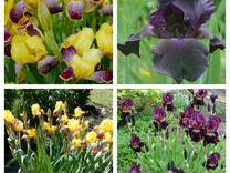 Саженцы многолетних цветов