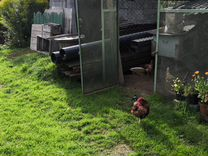 Красивый молодой петух и 4 курицы несушки